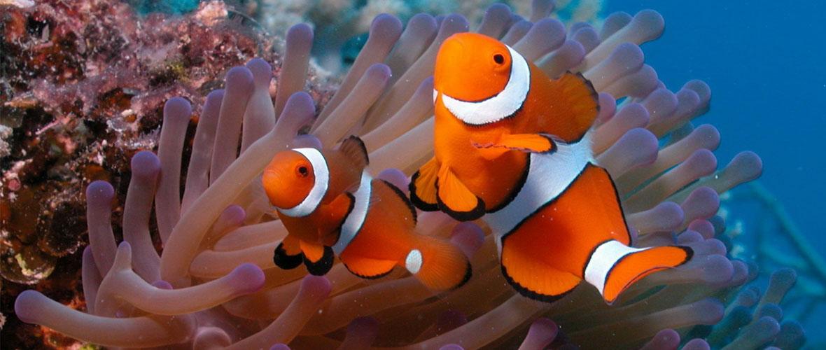 bkground_clowfish